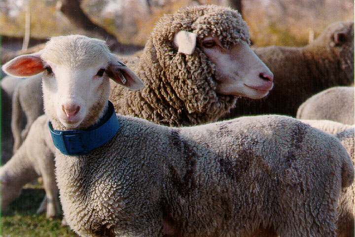 sheep-picture-32.jpg